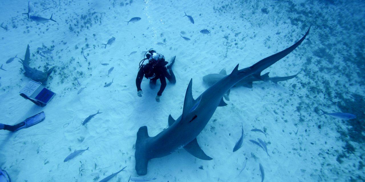 """Mehr als nur ein Raubtier: National Geographic WILD präsentiert Sonderprogrammierung """"Hai Life"""" im August (FOTO)"""